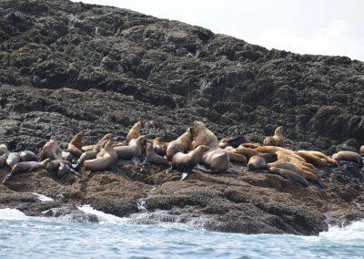 zeeleuwenkolonie, Canada