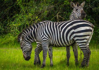Lake Mburo. Zebra. Oeganda