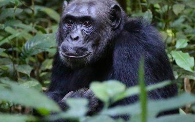 De berggorilla's van Oeganda