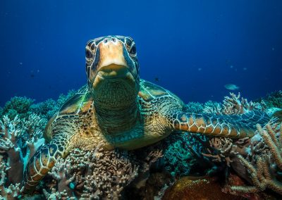 Curious turtle in Apo Island by David Hettich