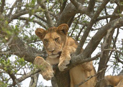 Ajubatus Safaris 1
