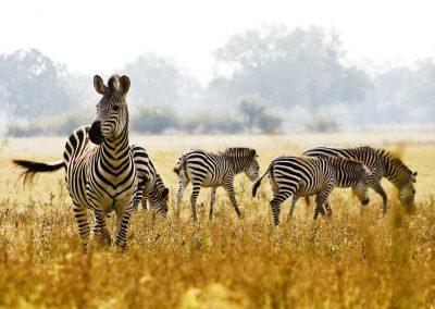 Zebra_Africa